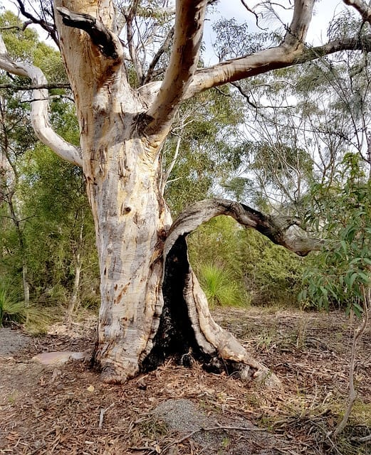 Koala Biodiversity Species Credits - Delta Associates ...
